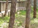 Dingos Australien Aug2003-06