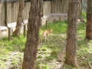 Dingos Australien Aug2003-08