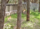 Dingos Australien Aug2003-09
