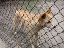 Dingos Australien Aug2003-30