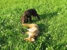 Safir mit Fuchs
